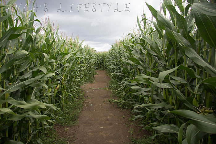Brimstage maize maze 3
