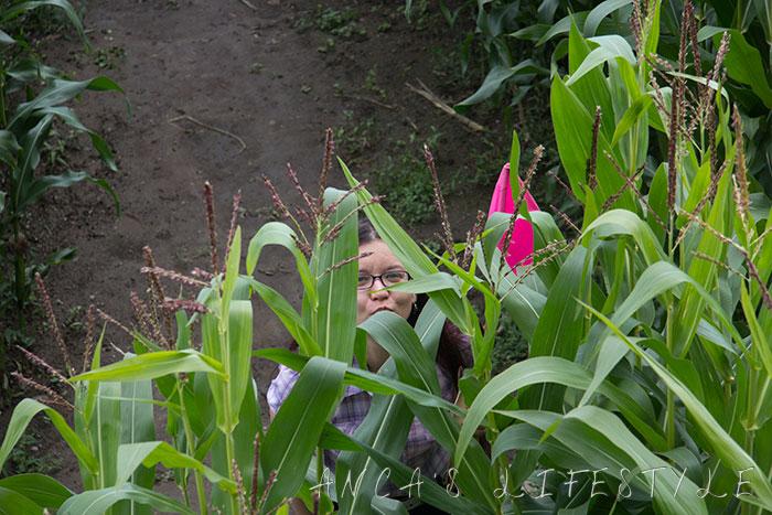 Brimstage maize maze 9