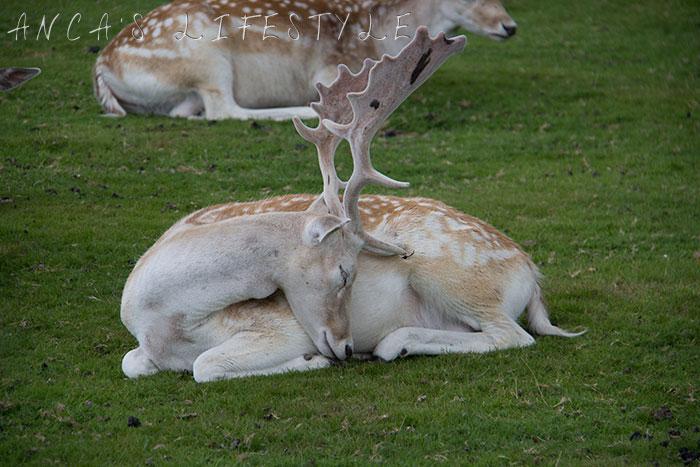 Dunham Massey deer park 7