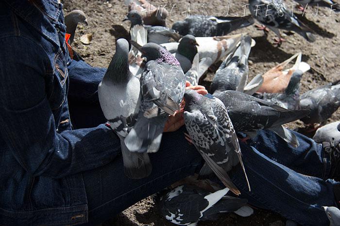 feeding pigeons 15