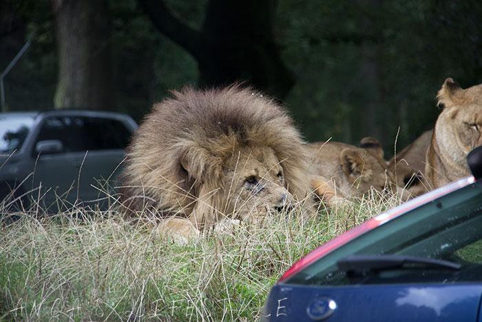 knowsley safari park 03