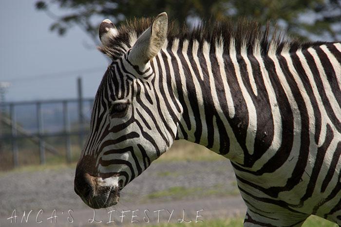 knowsley safari park 12
