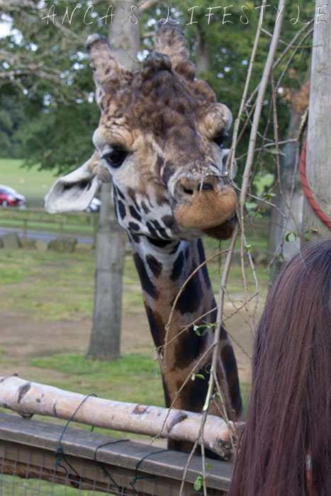 knowsley safari park 31