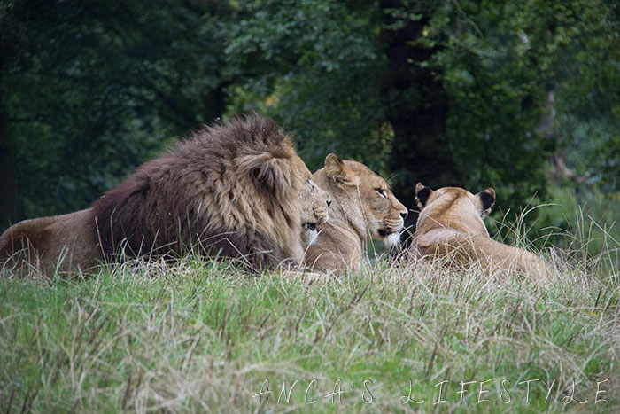 lions knowsley 2