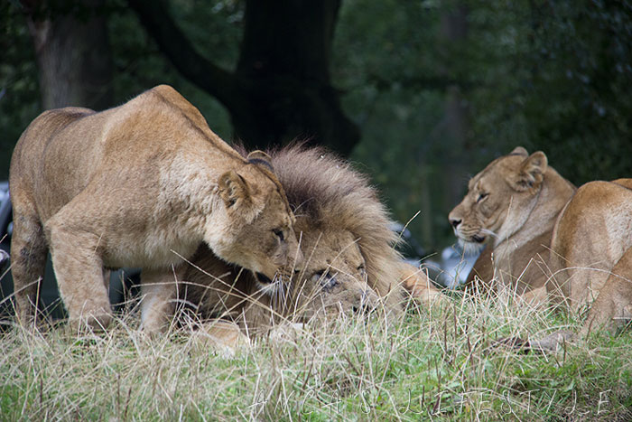 lions knowsley 4