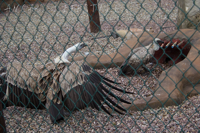 vulture display