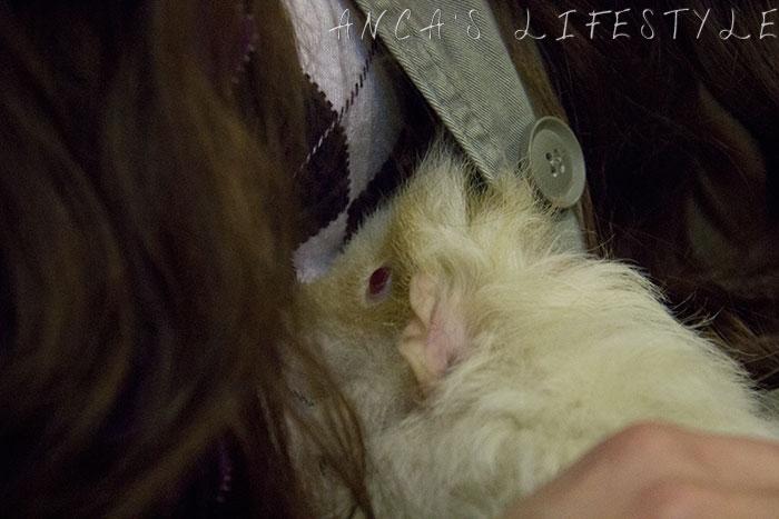 34 guinea pig