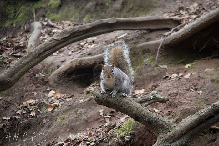 Wildlife Squirrels in Lymm village Cheshire