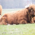 01 Highland cattle