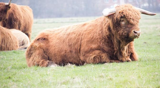01 Highland cattle
