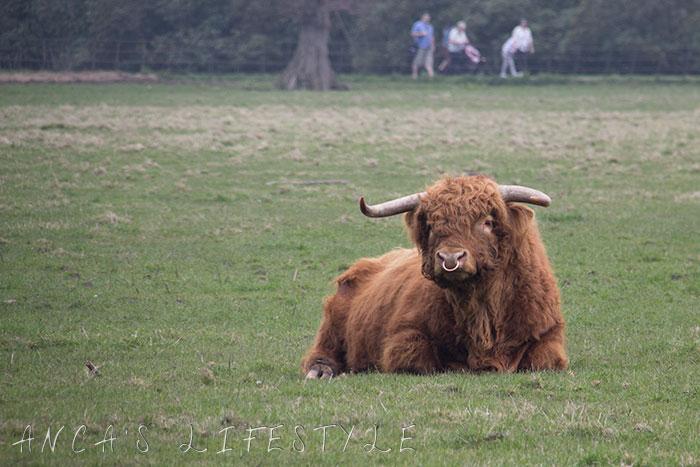 03 Highland cattle