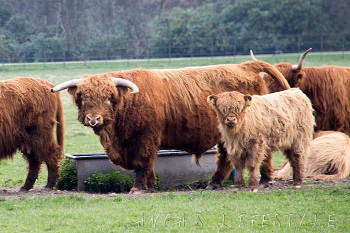 05 Highland cattle