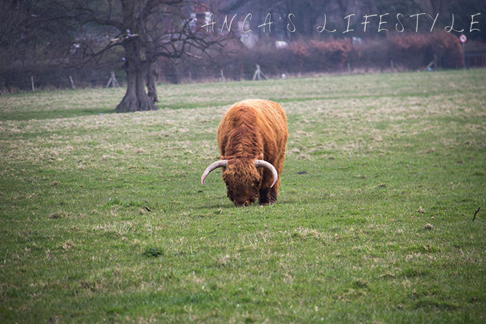06 Highland cattle