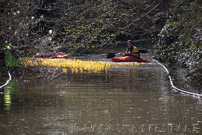 Lymm duck race 2015