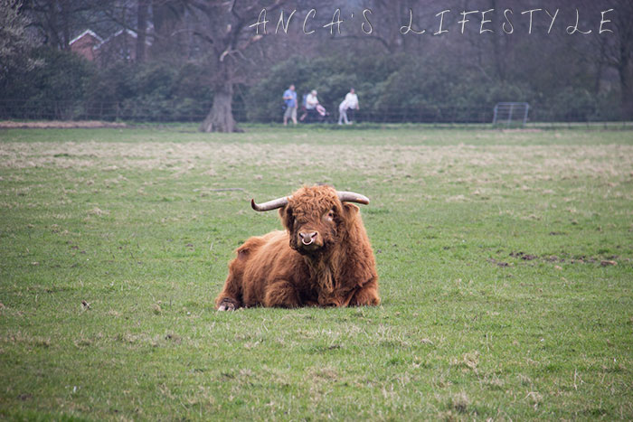 08 Highland cattle