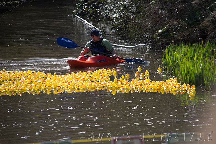 Yellow ducks race for charity event on Easter Monday