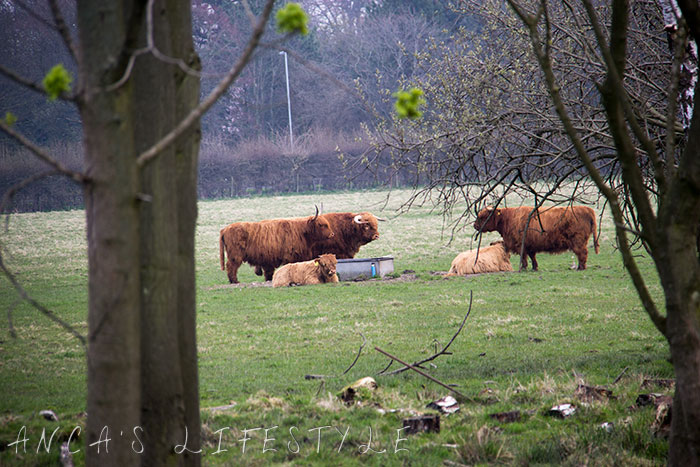 10 Highland cattle