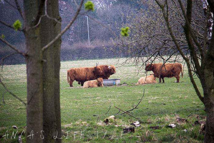 10 Highland cattle