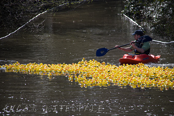 Ducks race for charity fundraising on Easter in United Kingdom in Lymm village