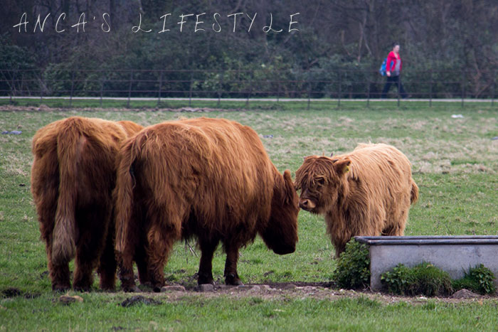 11 Highland cattle