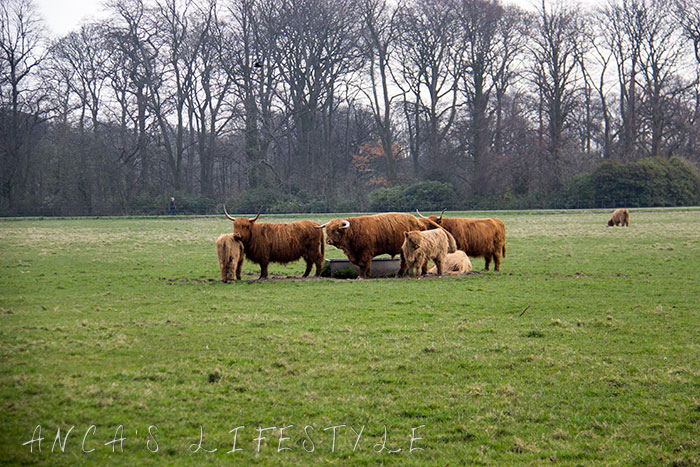12 Highland cattle