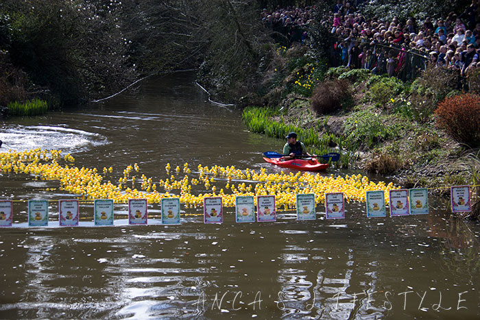 Lymm ducks race 2015