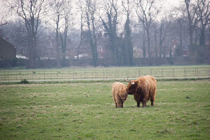13 Highland cattle