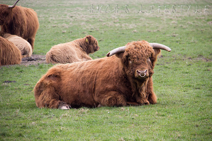 14 Highland cattle
