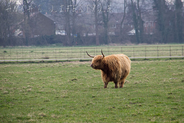 15 Highland cattle