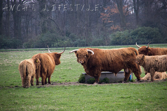 16 Highland cattle
