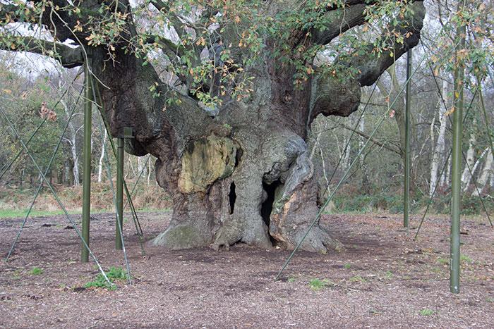 05 Sherwood forest Major Oak tree