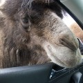 01 Knowsley Safari Park in December