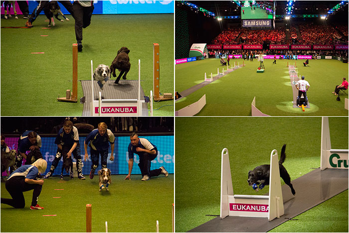 Flyball-Crufts-2