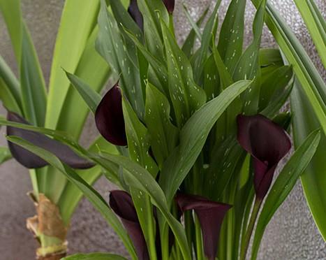 Black-calla-lily