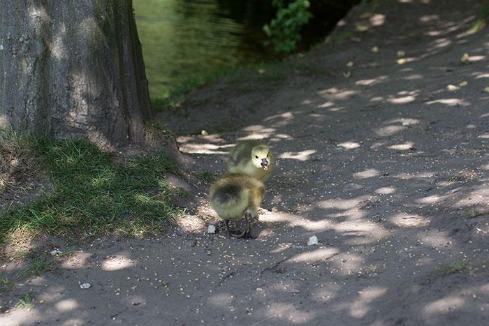 10 Goslings
