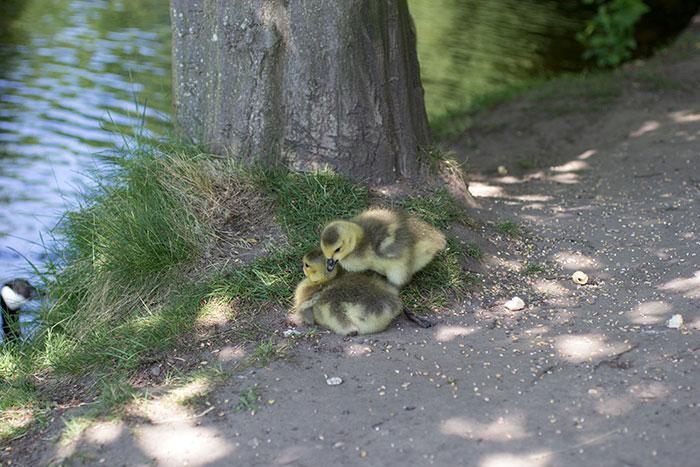 11 Goslings