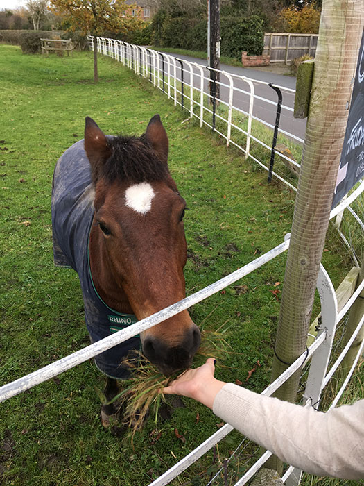 Horse eating grass from the hand