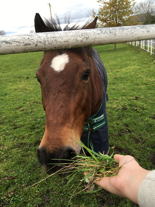Horse looking at the lens, eating grass