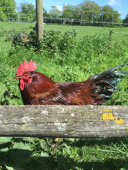 rooster at Lydiate Hall Farm Shop