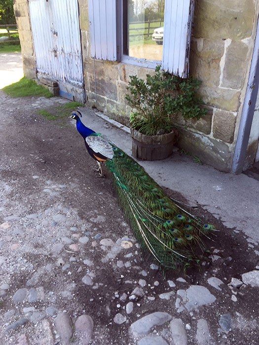 Peacock at Lydiate Hall Farm Shop