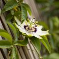 passiflora in bloom