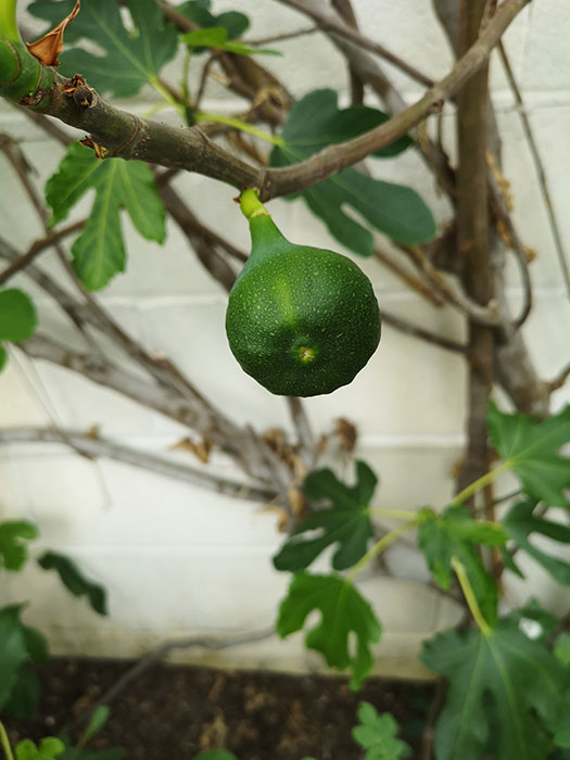 Figs in the greenhouse at Balmoral