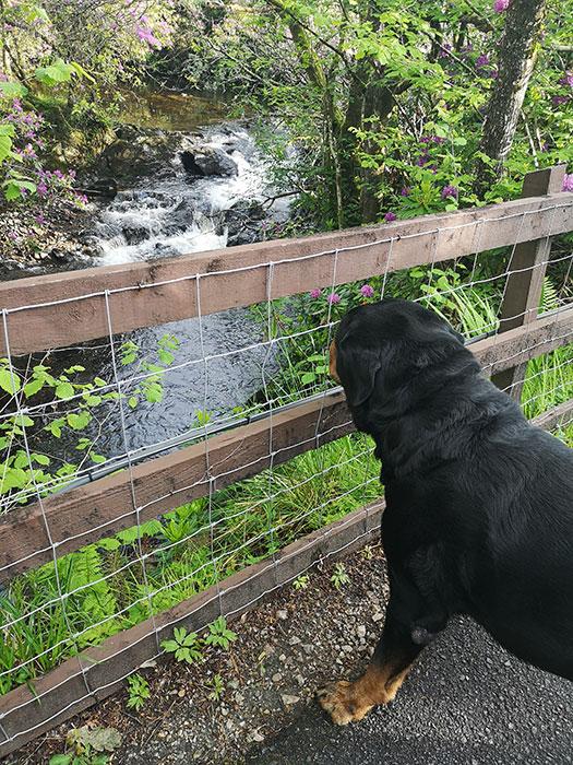 dog looking at river