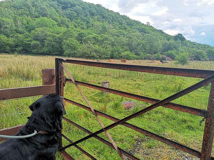 dog looking at cows