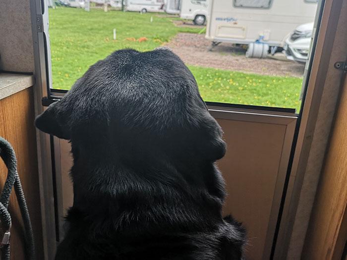 dog watching caravans