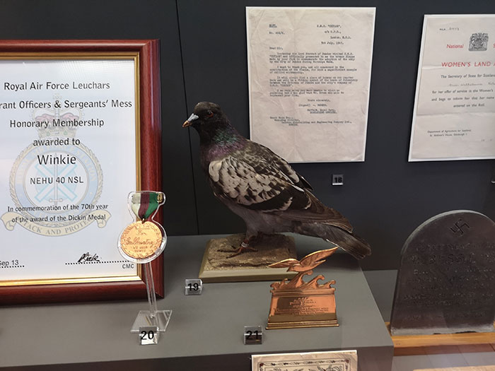 Pigeon on display at the McManus Museum, Dundee