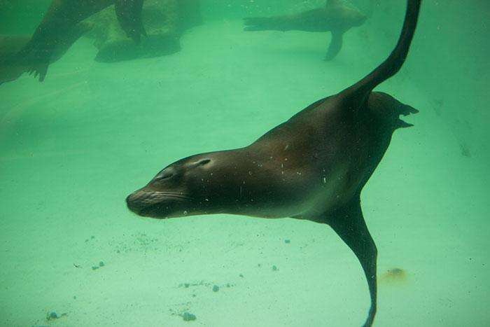 Sea Lion swimming at Knowsley Safari Park