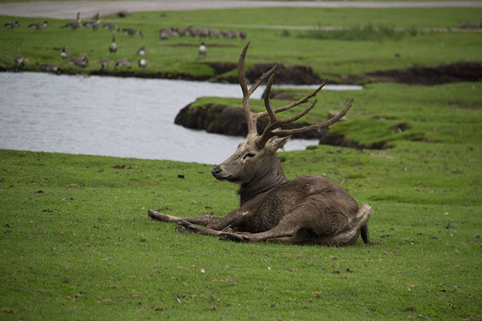 Animal relaxing at Knowsley, in the safari park
