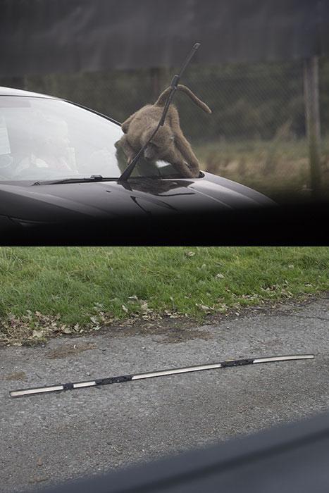 Monkey damaging a car