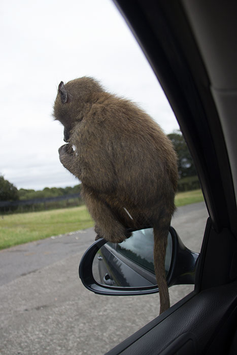 Monkey sitting on the mirror of our car